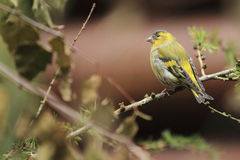 Common siskin Stock Image