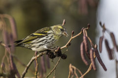 Common siskin (Carduelis spinus) Stock Photo