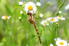 Common skimmer Royalty Free Stock Image