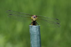Common skimmer on a pole Stock Photography