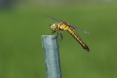 Common skimmer on a pole Stock Images