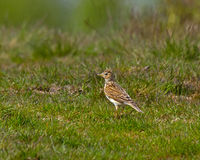 Common Skylark Royalty Free Stock Images