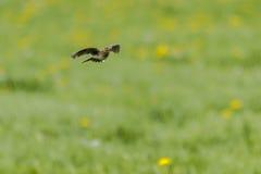 Common skylark Alauda arvensis Stock Photography