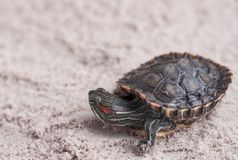 Common Slider, also known as Cumberland Slider Turtle, Red-eared Slider Turtle, Slider Trachemys scripta on a sand stock photos