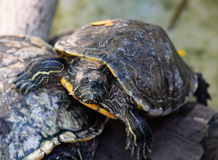 Common slider terrapin Royalty Free Stock Photography