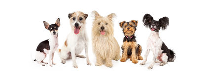 Common Small Breed Dogs. A row of six small breed dogs sitting together royalty free stock images