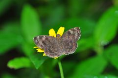 Common small flat butterfly. Of thailand background Royalty Free Stock Photography