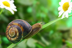 Common snail Stock Image