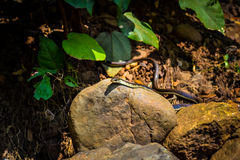 Common Snake. Common Non-Venomous Snake slithering by stock photos