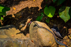 Common Snake. Common Non-Venomous Snake slithering by royalty free stock photography