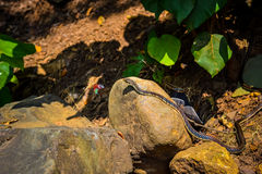 Common Snake. Common Non-Venomous Snake slithering by royalty free stock photos
