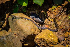 Common Snake. Common Non-Venomous Snake slithering by stock image