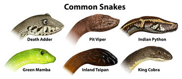 Common snakes. Illustration of the common snakes on a white background Stock Photography