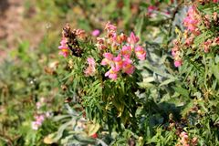 Common snapdragon or Antirrhinum majus blooming and partially dried pink white flowers surrounded with dark green leaves and local. Garden vegetation on warm stock image