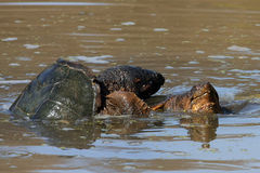 Common Snapping Turtle. S - Chelydra serpentina Mating Royalty Free Stock Images