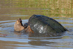 Common Snapping Turtle. S - Chelydra serpentina Mating Biting Back Of Neck Stock Photo