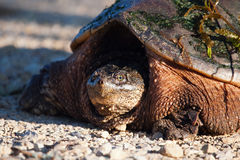 Common Snapping Turtle Royalty Free Stock Photos
