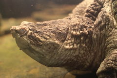 Common snapping turtle Stock Image