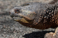 Common Snapping Turtle. (Chelydra serpentina) in early spring Royalty Free Stock Photography