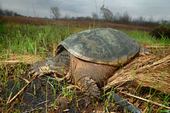 Common Snapping Turtle. In the grass Royalty Free Stock Photography