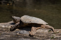 Common Snapping Turtle. A Common Snapping Turtle basking on a log in the Milwaukee River Stock Image