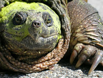 Common Snapping Turtle (Chelydra serpentina). A closeup view of a common snapping turtle covered in algae Royalty Free Stock Photography