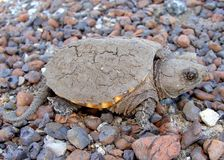 Common Snapping Turtle, Chelydra serpentina. A baby Common Snapping Turtle, Chelydra serpentina, covered in dried mud during drought Stock Photography