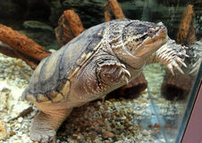 Common Snapping Turtle. Or Chelydra serpentina Royalty Free Stock Photo