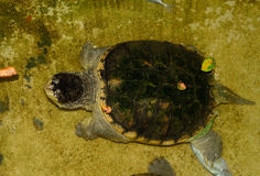 Common Snapping Turtle (Chelydra serpentina) Stock Photo