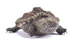 Common snapping turtle, Chelydra serpentina. The Common snapping turtle, Chelydra serpentina, is a large, aggressive reptile species found in the United States Stock Photos