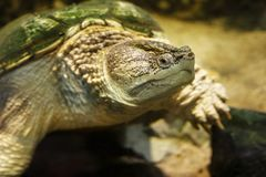Common snapping turtle Chelydra serpentina. Common snapping turtle Chelydra serpentina in the oceanarium royalty free stock images
