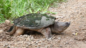 Common Snapping Turtle, Chelydra serpentina, laying eggs stock video