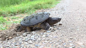 Common Snapping Turtle, Chelydra serpentina, laying eggs in gravel stock video footage