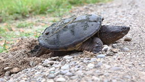 Common Snapping Turtle, Chelydra serpentina, laying eggs at road edge stock video footage