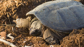 Common snapping turtle (Chelydra serpentina) Royalty Free Stock Image