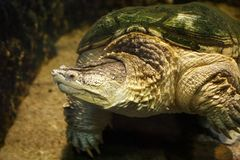 Common snapping turtle Chelydra serpentina. Common snapping turtle Chelydra serpentina in the oceanarium Stock Image