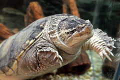 Common Snapping Turtle. (Chelydra serpentina) poking its head out of the water stock photos