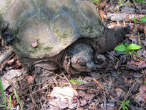 Common Snapping Turtle - Chelydra serpentina. This is a Common Snapping Turtle - Chelydra serpentina, a reptile that lives in Morgan County Alabama USA in ponds Stock Image