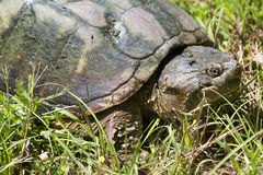 Common Snapping Turtle - Chelydra serpentina. This is a Common Snapping Turtle - Chelydra serpentina, a reptile that lives in Morgan County Alabama USA in ponds Royalty Free Stock Image