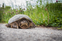Common snapping turtle Chelydra serpentina. Snapping turtle on a road near a ditch line Royalty Free Stock Image