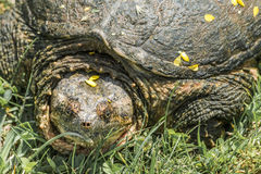 Common snapping turtle Royalty Free Stock Photo