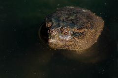 Common Snapping Turtle - Chelydra serpentina royalty free stock photography