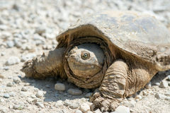Common snapping turtle Royalty Free Stock Image