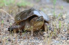 Common Snapping Turtle, Georgia USA. Large six inch carapace plastron Common Snapping Turtle, Chelydra serpentina. May in Walton County, GA. nnThe common Royalty Free Stock Image