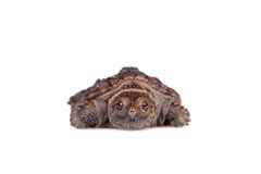 Common Snapping Turtle hatchling on white Royalty Free Stock Photo