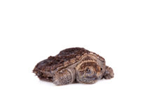 Common Snapping Turtle hatchling on white Royalty Free Stock Images