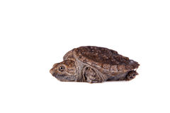 Common Snapping Turtle hatchling on white Stock Photography