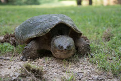 Common snapping turtle laying eggs Stock Photography