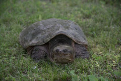 Common snapping turtle laying eggs Royalty Free Stock Images