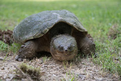 Common snapping turtle laying eggs Royalty Free Stock Photo